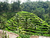 This is an example of the famous terraced rice paddy fields in Bali (Ubud). Since land is expensive and hilly, the Balinese have ingeniously converted the slopes to cultivate rice. FYI, many tourists stop here for a photo op and a lot of locals will peddle touristy crap.